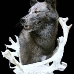 Kirwan Wolf