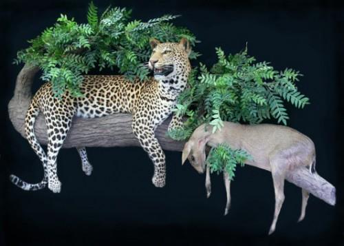 Leopard – Duiker