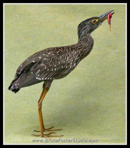 black-crowned-night-heron-wrw