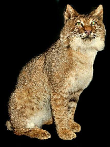 Sitting Bobcat