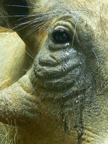Warthog Eye