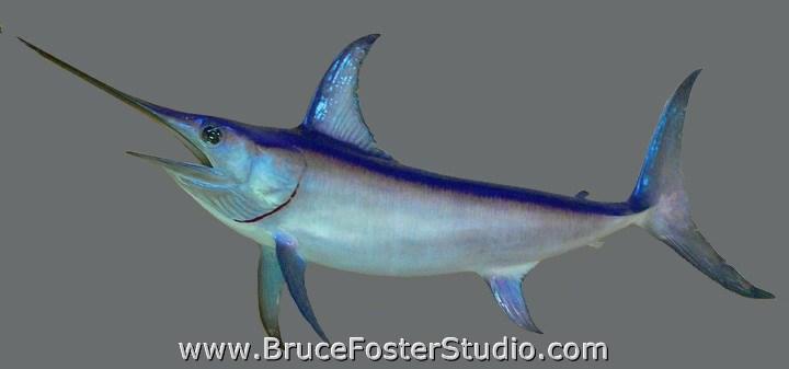 Broad Bill Swordfish