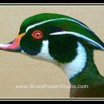 Drake Wood Duck  Detail